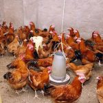Poultry Farming In Nigeria & The Secrets of Making Millions